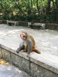 路边吃食物的山猴