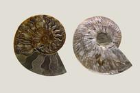 侏罗纪尖腹菊石
