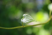 木薯嫩绿的叶子