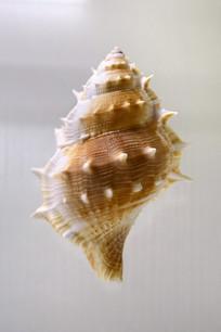 拟优雅蛙螺