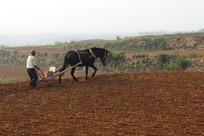 农民用牲口播种山地小麦