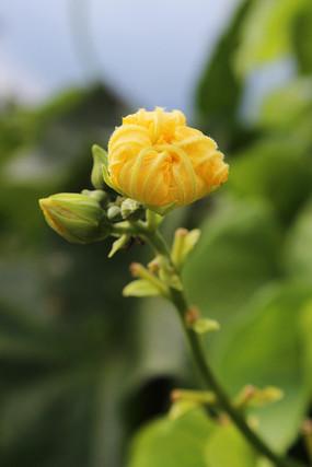 丝瓜花与花苞
