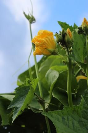 午日阳光下的丝瓜花