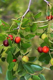 野生酸枣树上的酸枣