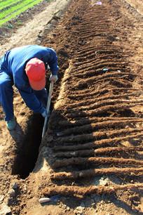 一男人在挖掘山药