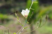 绽放的白色野生花