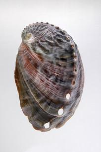 皱纹盘鲍螺