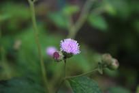 紫色的野生小花