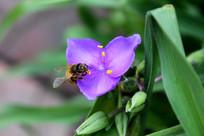 紫叶草上的蜜蜂