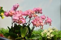 粉红色的蝴蝶兰花卉图片