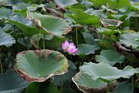 荷塘里盛开的莲花