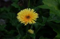 黄色小野菊