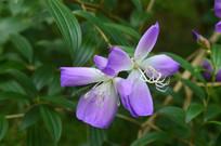 两朵紫蓝色巴西野牡丹