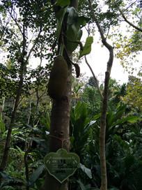 热带菠萝蜜