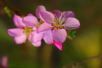 一枝盛开的粉色桃花