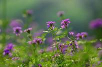 紫色花草风景图片