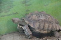 撑起身子的大乌龟