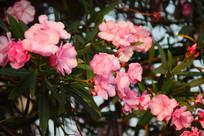 粉色柳叶桃