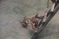 跟着妈妈爬梯子的猕猴
