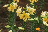 黄色的香水百合