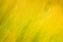 金色芭蕉叶