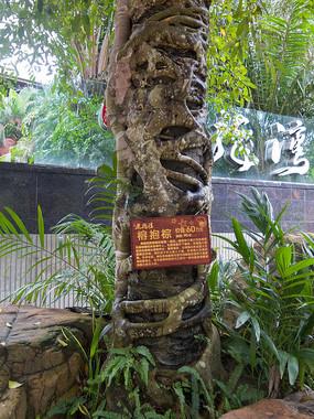 热带雨林奇观榕抱棕
