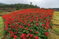 一串红鲜花