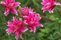 种植的粉红色香水百合