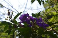 紫牡丹花朵