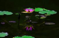 紫色睡莲水中倒影图