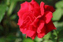 红色的鲜花