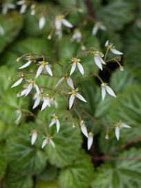 虎耳草的白色小花