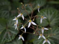 虎耳草花朵
