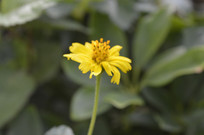 蟛蜞菊花朵摄影图