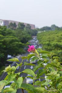伸出桥边的三角梅花朵