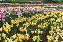 种植的黄色香水百合