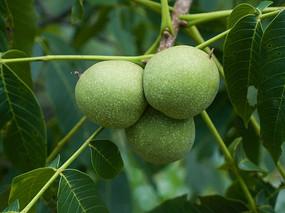 长在树上的核桃果实
