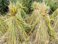 秋收后田里的稻草