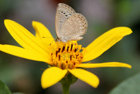 蝴蝶采集洋姜花