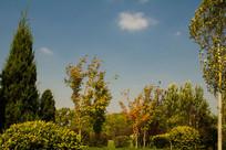 园林景观树