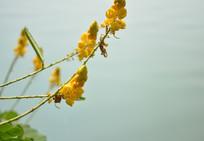 岸边黄色小花