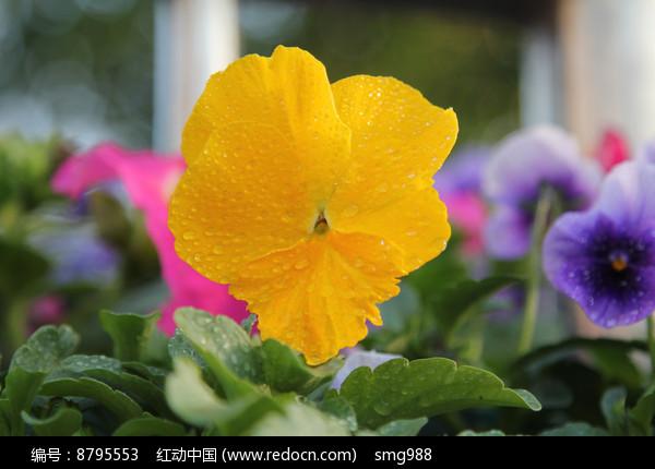 带水珠的黄花朵图片
