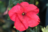 红色的五瓣花
