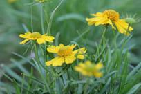 黄色的黑心菊