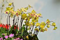 黄色蝴蝶兰花草