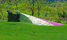 绿草坪上的两只孔雀