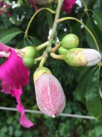 美人树花苞与果实