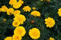 盛开的黄色万寿菊