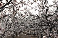 春天开放的杏花