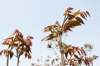 春天香椿树上的香椿